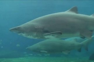Korkunç Köpek Balığı Saldırısı